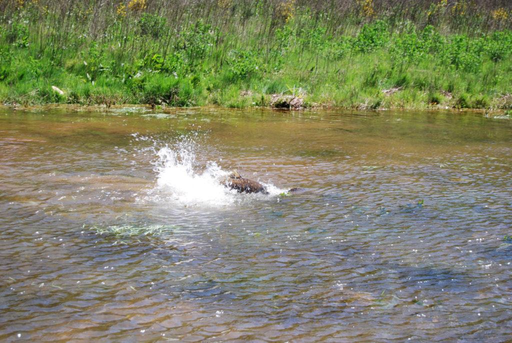 Pêche à la carpe pendant la fraie